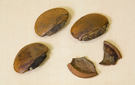 Seeds of Baillonella toxisperma, an evergreen tree of the Sapotaceae family that can grow to a height of 60 m (Gabon, Africa).