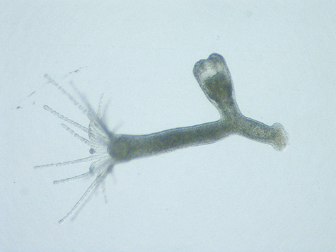 A polyp of Eugymnathea japonica sprouting a young medusa. Removed from the soft part of its bivalve host.