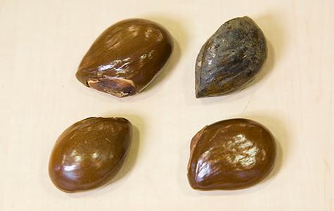 アカテツ科のアウトラネラ・コンゴレンシス(ムクルング) Autranella congolensis の種子(アフリカ・ガボン)。