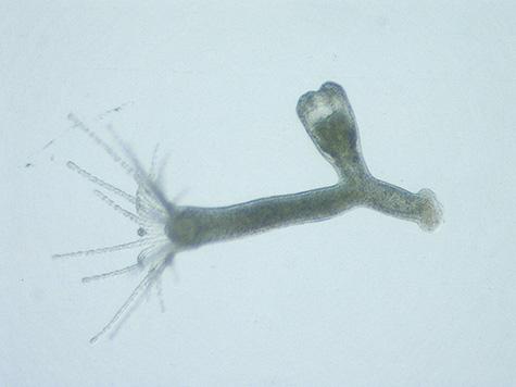 1個の若いクラゲ芽を形成したカイヤドリヒドラクラゲ(ポリプ)。二枚貝宿主の軟体部より取り出したもの。