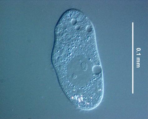 ゾウリムシ Paramecium caudatum。
